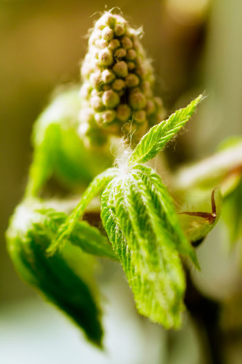 Beginnings Botany Bourgeons Branch Bub Chestnut Close-up Drop Flower Focus On Foreground Food And Drink Fragility Freshness Green Green Color Growth Healthy Eating Leaf Macro New Life Plant Selective Focus Springtime Sunshine Yeah Springtime!