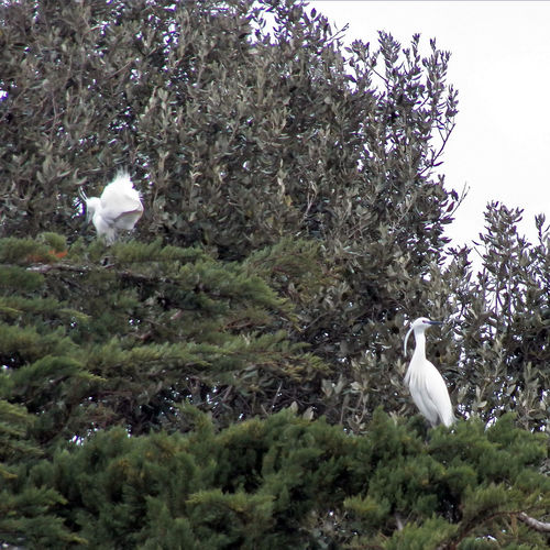 Differents poses for two special featherings - two egrets are perching Two Egretta Alba Special Feathering In Green Tree White Birds Egrets Avian Birds Photography Perching