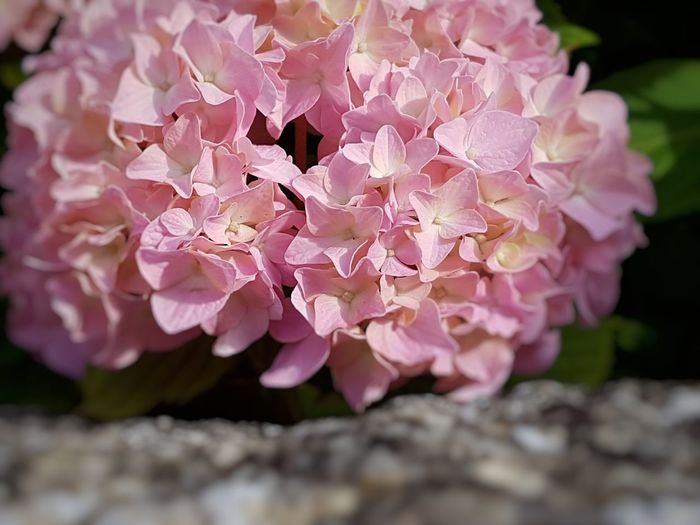 Happy saturday my friends 🌸 Hydrangea EyeEm Nature Lover Beauty In Nature Hydrangea Flower Flower Head Flower Pink Color Petal Close-up Plant Flowering Plant In Bloom Blossom Blooming Botany