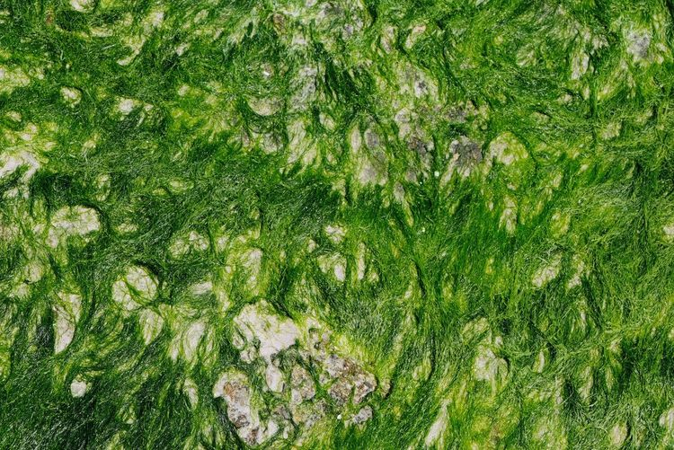 Seaweed Seaweed Green Color Nature Close-up New Beautiful Beach Backgrounds Full Frame High Angle View Close-up Green Color Plant Growing Greenery Water Plant
