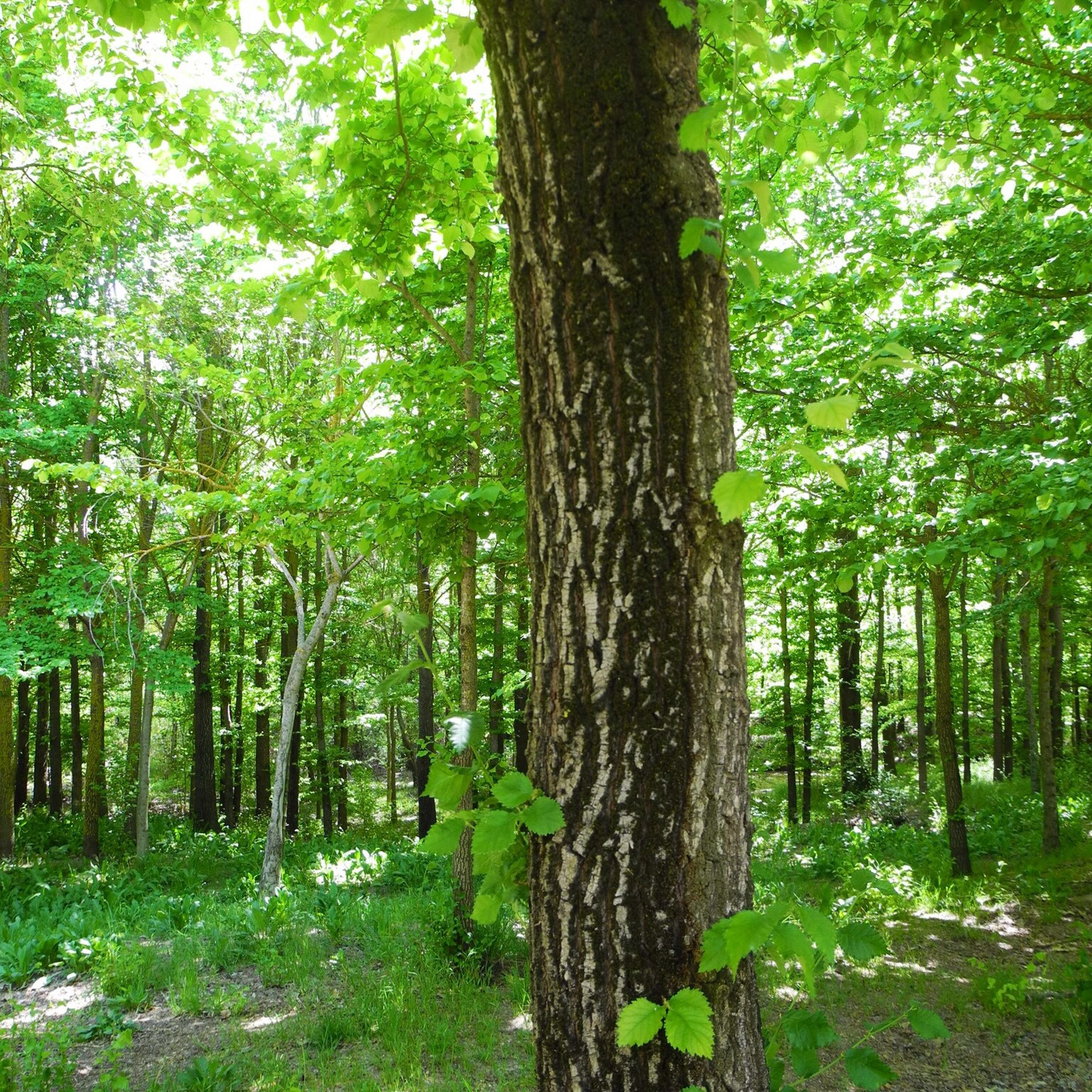 tree, tree trunk, forest, growth, tranquility, woodland, nature, green color, tranquil scene, beauty in nature, scenics, branch, landscape, non-urban scene, day, outdoors, sunlight, grass, no people, growing