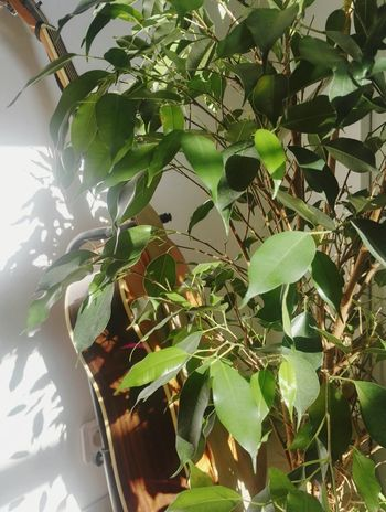Leaf Plant Growth Nature Day Tree Green Color Outdoors Sunlight Branch No People Beauty In Nature Greenhouse Close-up Freshness Guitar Accoustic Guitar