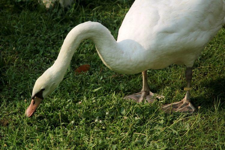 Swan Bird Grass