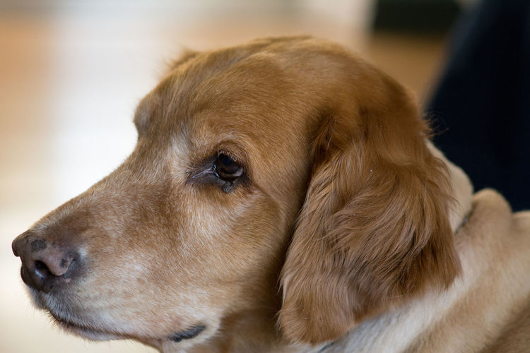 Animal Themes Close-up Day Dog Domestic Animals Golden Retriever Indoors  Mammal No People One Animal Pets Portrait Retriever