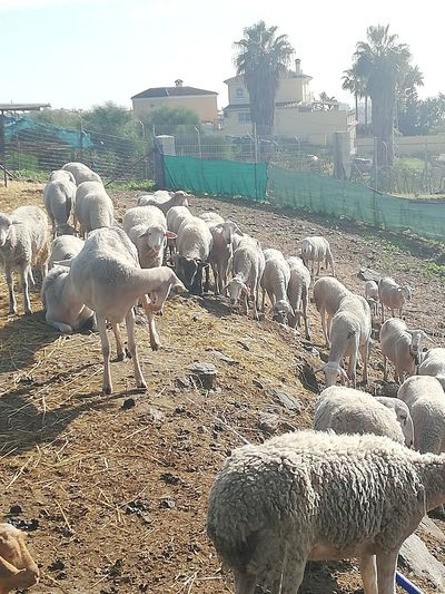 herd of sheeps Agriculture Sky Flock Of Sheep Large Group Of Animals Cultivated Land Sheep Herd