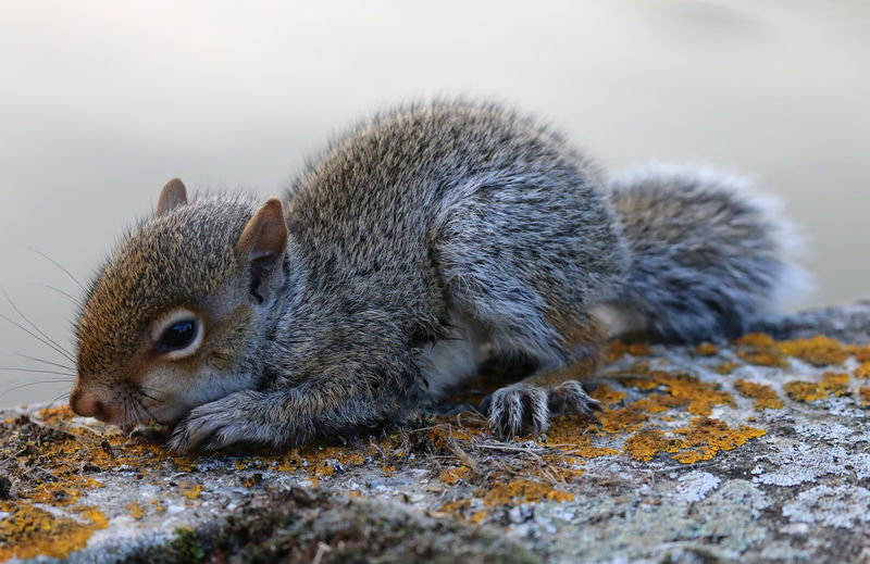 Baby Grey Squirrel Animal Themes Animals In The Wild Day Eating Focus On Foreground Food And Drink Full Length Holding Looking At Camera Mammal No People Non-urban Scene One Animal Rodent Squirrel Whisker Wildlife Zoology