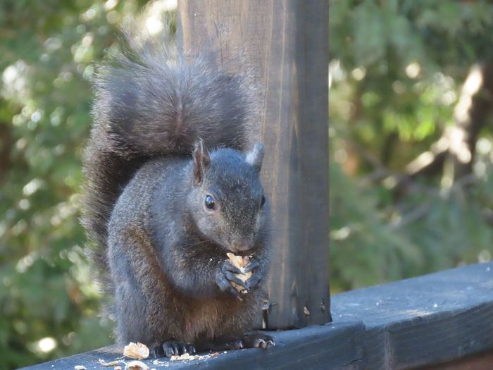 Black squirrel closeup perched on a wooden railing eating a peanut focus on the foreground EyeEm nature lover animal themes outdoors Animal Wildlife One Animal Rodent No People