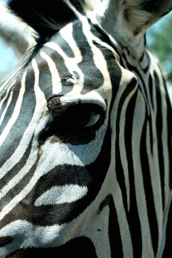 Close-up Zebra