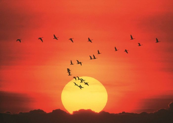 Silhouette of birds flying against sun in sky at sunset