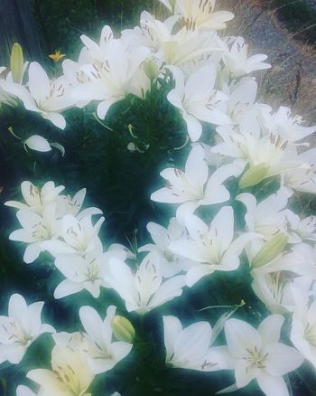 Bright White Lillies Flower Collection Summer Flowers Beauty In Nature Flower Fantasy Awesome_shots Smells Of Summer The Small Things In Life Colour Of Life