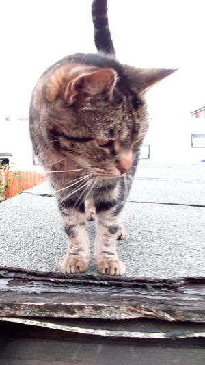 Animal Themes Domestic Animals One Animal Domestic Cat Cat Whisker Feline Built Structure Curiosity Tabby Animal Behavior Happy Cat Happy Caturday Caturday Cat On The Prowl Cat On The Roof Cat On A Roof Neighbourhood Cat Random Cat Focus On Foreground Outdoors