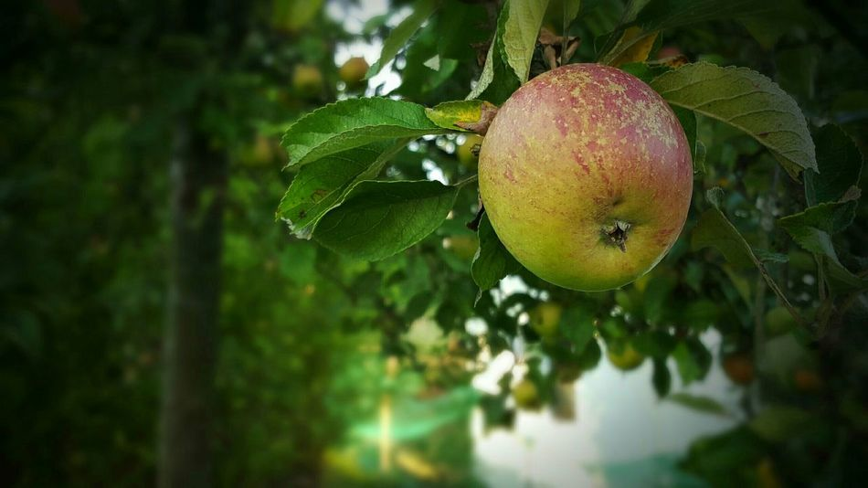 In My Garden Apple Appel Tree Tree Food Deceptively Simple My World Of Food A Taste Of Life Nature No People The Essence Of Summer Food Stories