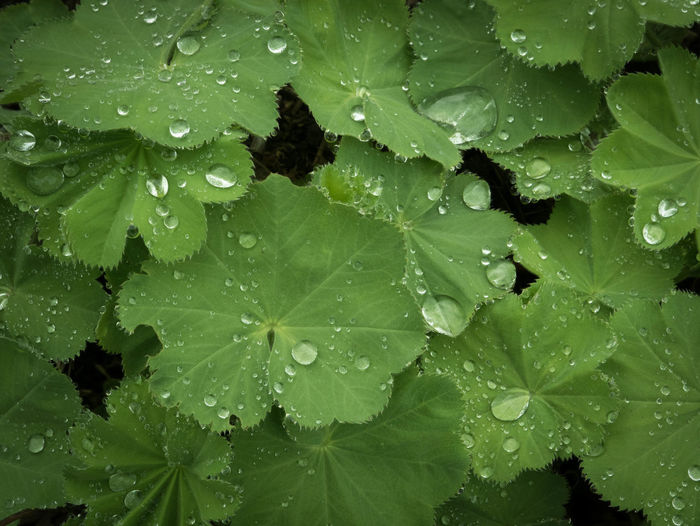 Springtime Decadence Leaf Plant Part Drop Wet Water Green Color Growth Plant Nature Close-up RainDrop Purity Rainy Season Backgrounds