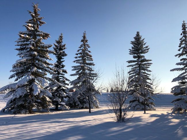 Winter is here Plant Tree Cold Temperature Winter Snow Sky Tranquility Growth Nature Beauty In Nature Tranquil Scene No People Clear Sky Sunlight Land Scenics - Nature Coniferous Tree