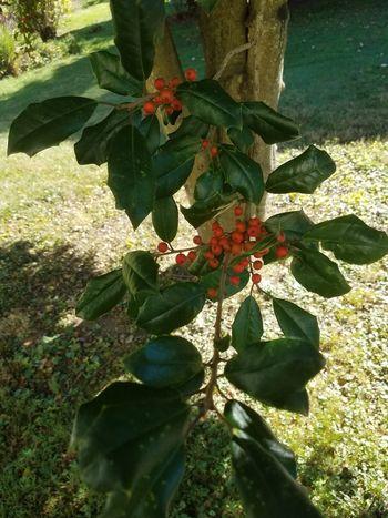 Holly Tree Winter Sunshine Holiday