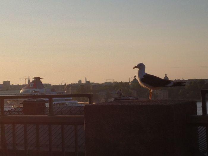 Birdwatching Stockholm Södermalm