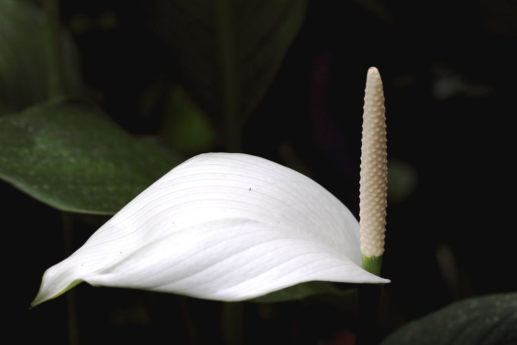Close-up of white anthurium
