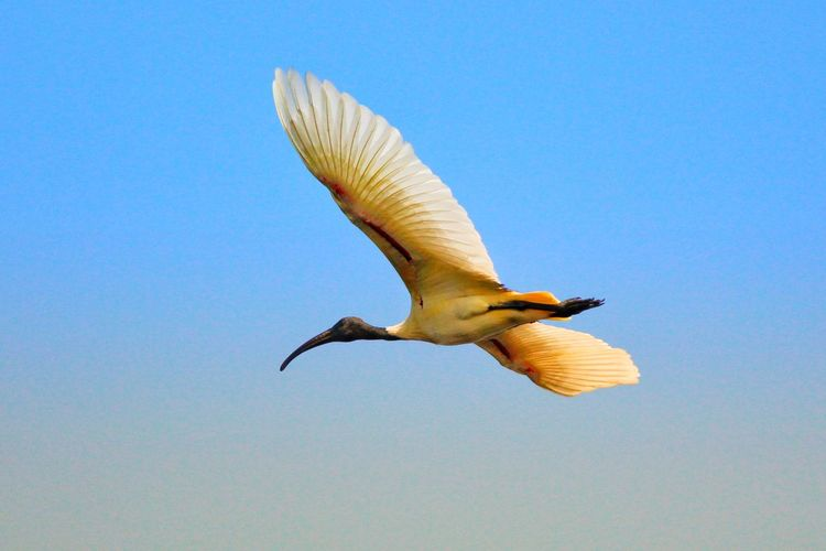 Ibis Bird Photography Bird Birds Birds_collection Ibis Nature Outdoors Bird Of Prey No People Low Angle View Clear Sky Beauty In Nature Sky