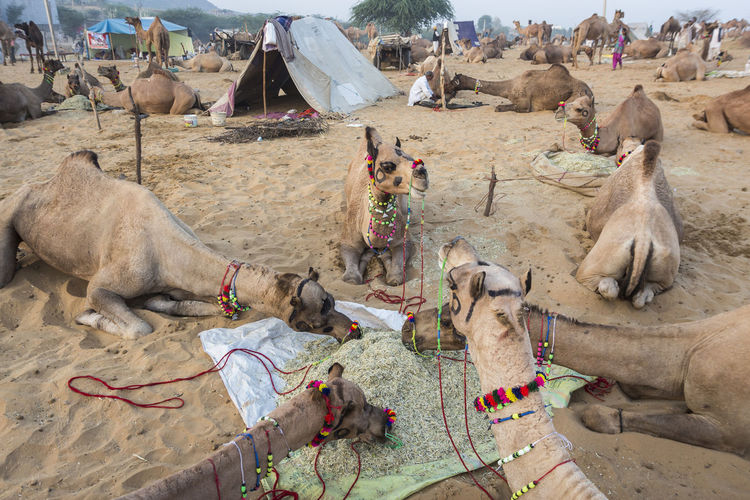 group of camel eating in fields desert at Pushkar, India Animal Camel Day Field India Travel Indianstories Indiapictures Livestock Livestock Mammal Mealtime Medium Group Of Animals Outdoor Outdoor Life Outdoors Pushkar Rajasthan Rural Travel Destinations Travel Photography
