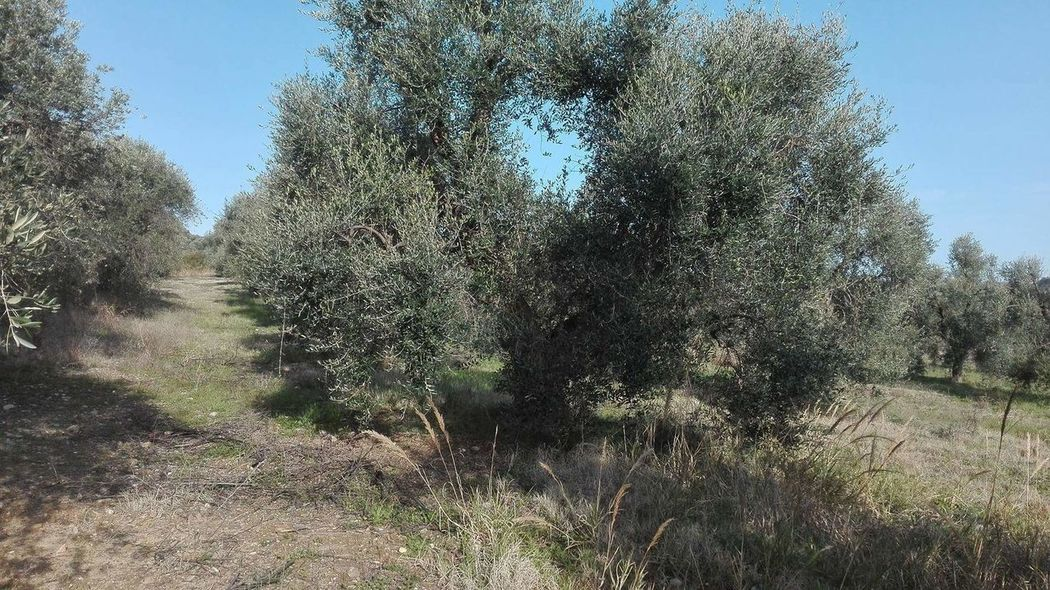 Tree Nature No People Close-up Beauty In Nature Olive Tree Sky Outdoors Growth Secular
