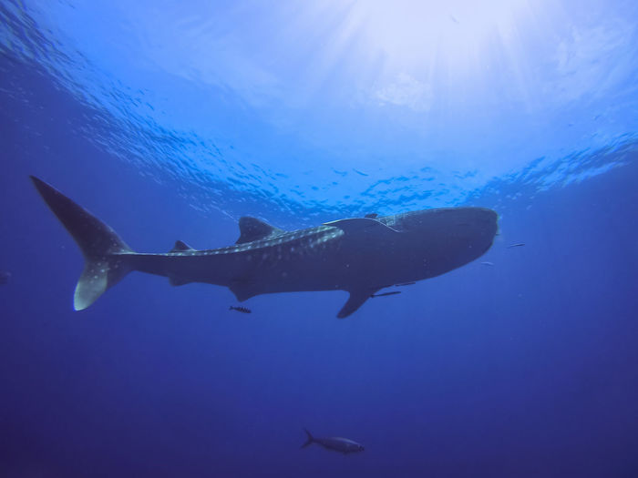 Low Angle View Of Whale Shark Underwater