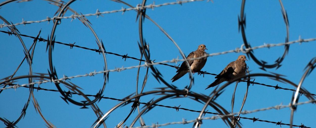 Pigeons perching on barbed wire against clear blue sky