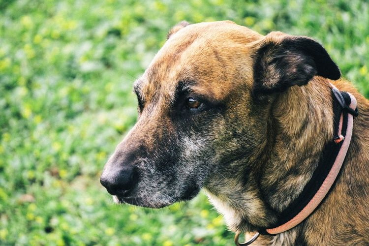 One Animal Animal Themes Canine Dog Domestic Animals Mammal Animal Domestic Pets Vertebrate Focus On Foreground No People Looking Day Animal Head  Pet Portraits Portrait Animal Body Part Close-up Looking Away Land Field Snout Animal Nose