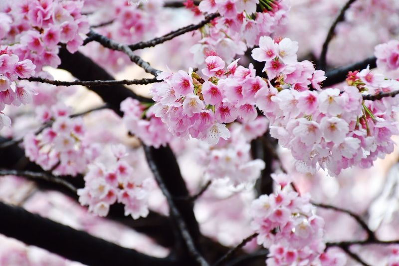 Sakura Blossom Sakura EyeEm Best Shots - Flowers Eyeemphotography Flowering Plant Flower Plant Freshness Beauty In Nature Blossom Fragility Pink Color Branch Botany Petal Springtime Close-up Cherry Blossom No People Day Tree