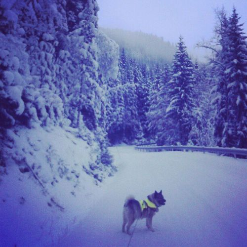 Elghund Winter Snow Winterwonderland Rendalen Elkhound Christmasday Ilovenorway