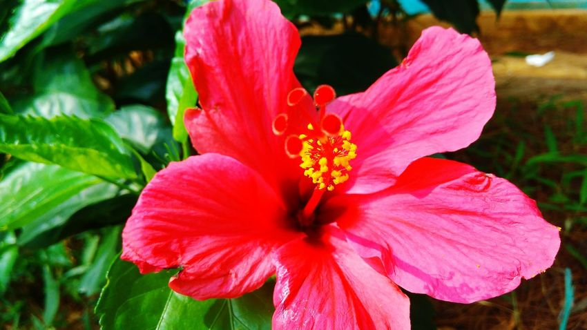 Hibiscus Flower Pink Color Flower Head Nature Petal Beauty In Nature Plant Multi Colored Tropical Climate Close-up Blossom Red Outdoors Hibiscus Fragility Freshness Springtime Leaf Beauty Day