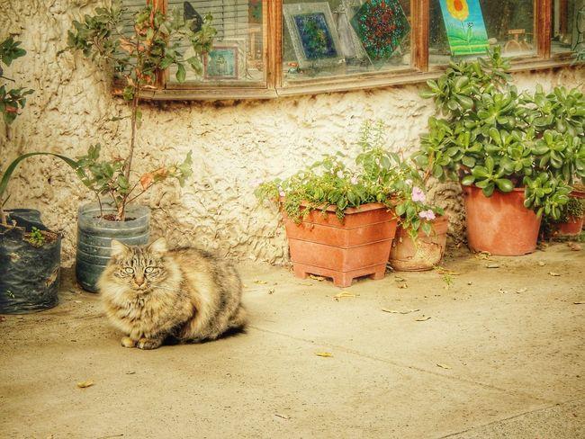 El otro gato. Pueblo de los domniicos. Santiago, Chile. Mayo de 2016. Gato Chile