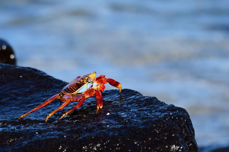 Red crab on a lava rock