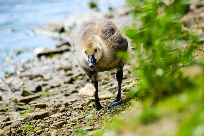 One Animal Animals In The Wild Animal Wildlife Day Young Animal Mammal Outdoors Water Looking At Camera Nature Animal Themes No People Portrait Close-up Ducklings Duck Feather  Beak The Great Outdoors - 2017 EyeEm Awards Duck Photography Nature Live For The Story Pet Portraits