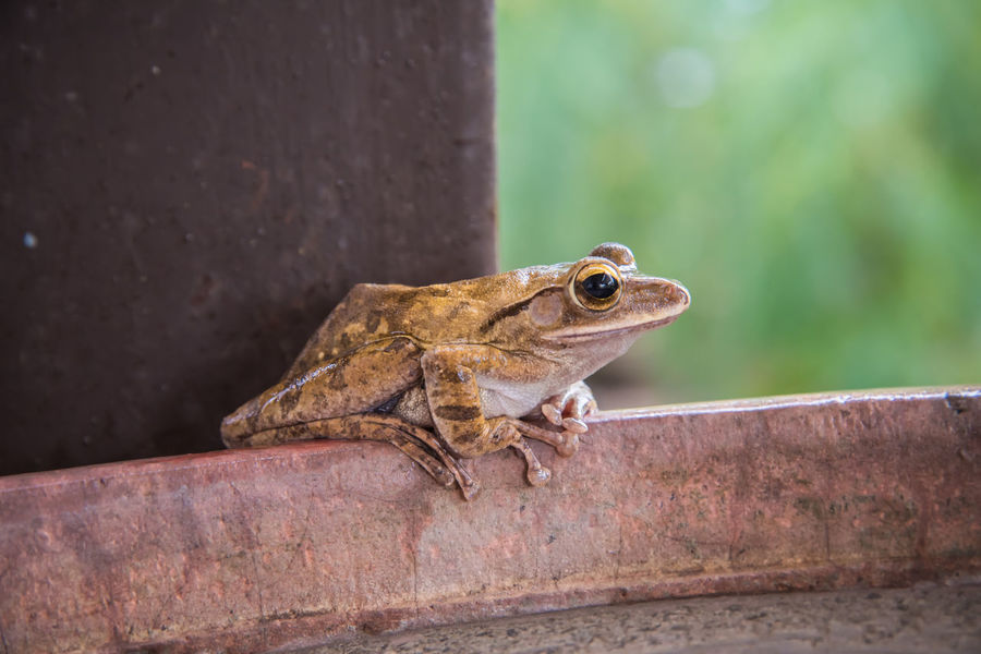 Animals In The Wild Frog Nature Amphibian Animal Animal Themes Animal Wildlife Animals In The Wild Close-up Green Frog Nature One Animal Outdoors Reptile Small Small Frog