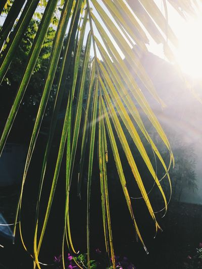 Plant Beauty In Nature Growth Nature Green Color Sunlight No People Day Tree Palm Tree Leaf Sunbeam Plant Part Outdoors Tropical Climate Palm Leaf Tranquility Lens Flare Close-up Sunny Bamboo - Plant
