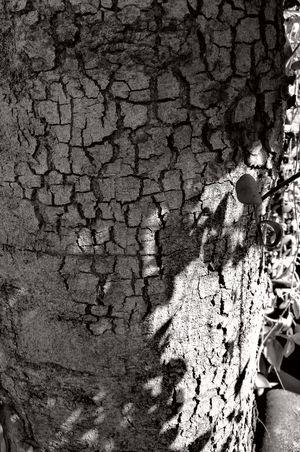 แตกลาย Black&white B&w Photography Enjoying Life Tree Thailand Huawei P9 Plus