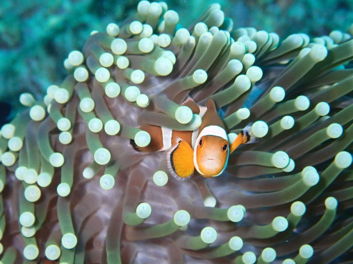 Close-Up Of Clown Fish Swimming In Sea