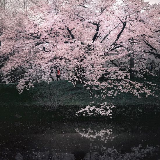 桜 Sakura EyeEm