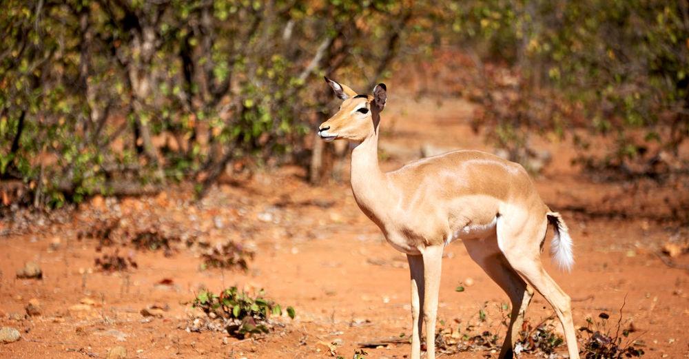 Giraffe standing on a land