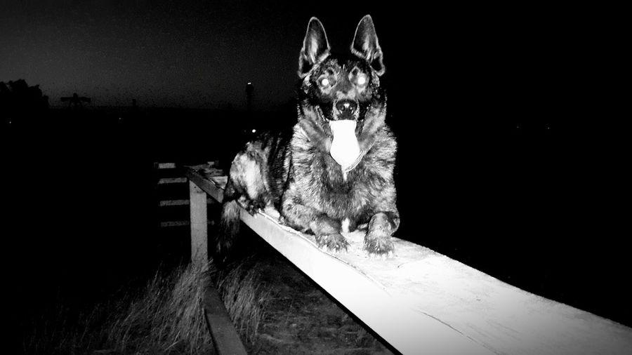 Dog Black & White Black