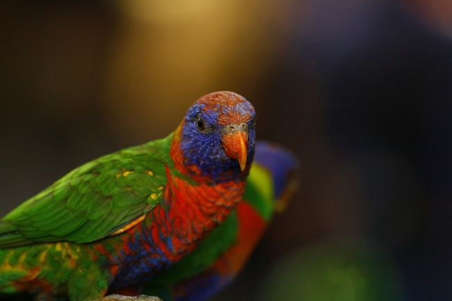 Animal Themes Animal Wildlife Animals In The Wild Beauty In Nature Bird Close-up Day Focus On Foreground Multi Colored Nature No People One Animal Outdoors Parrot Pets Rainbow Lorikeet