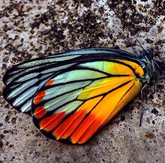 Butterfly Butterfly Butterfly ❤ Butterflys Butterfly Effect Butterfly Garden Butterflies Butterfly Macro Butterflies And Moths Butterflies Are Free Butterflieseverywhere