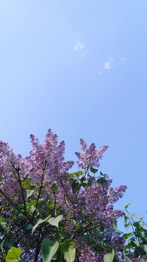 Flower Sky Lilac Botany Blossom Focus Plant Life Flower Head Inflorescence Blooming In Bloom