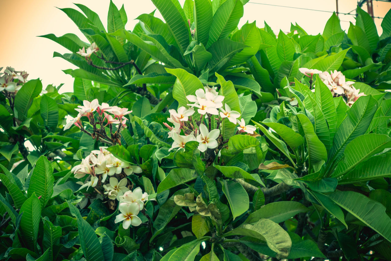 plant, leaf, plant part, growth, green color, flower, beauty in nature, freshness, flowering plant, close-up, fragility, nature, vulnerability, petal, no people, day, flower head, inflorescence, white color, outdoors
