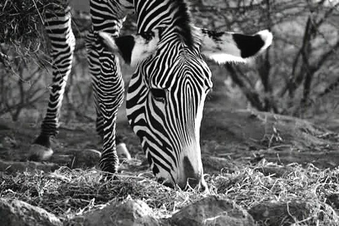 Africa Zebra Natural Beauty Sauvage Bkack And White Animals Beautiful ♥ Savane