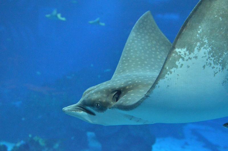 Stingray Manta Ray Underwater Under The Sea Swimming With Stingray Underwater Sea Life Swimming UnderSea Fish Animals In The Wild Animal Wildlife