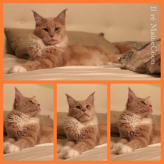 The king 🦁❤️ Mainecoon Like Mammal Domestic Cat Domestic Animals Pets Animal Themes Domestic Cat Animal Feline