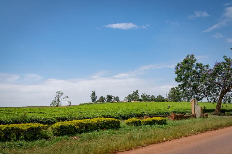 Picking tea in the fields of uganda