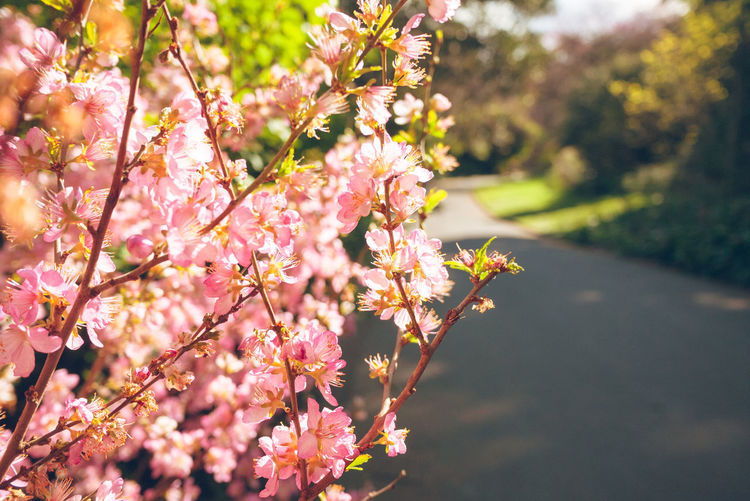 Pink folowers Plant Flower Flowering Plant Fragility Growth Beauty In Nature Freshness Vulnerability  Pink Color Nature Day Close-up Springtime Blossom Branch No People Sunlight Selective Focus Flower Head Cherry Blossom Cherry Tree Bunch Of Flowers Spring Royal Botanic Gardens Botanical Gardens