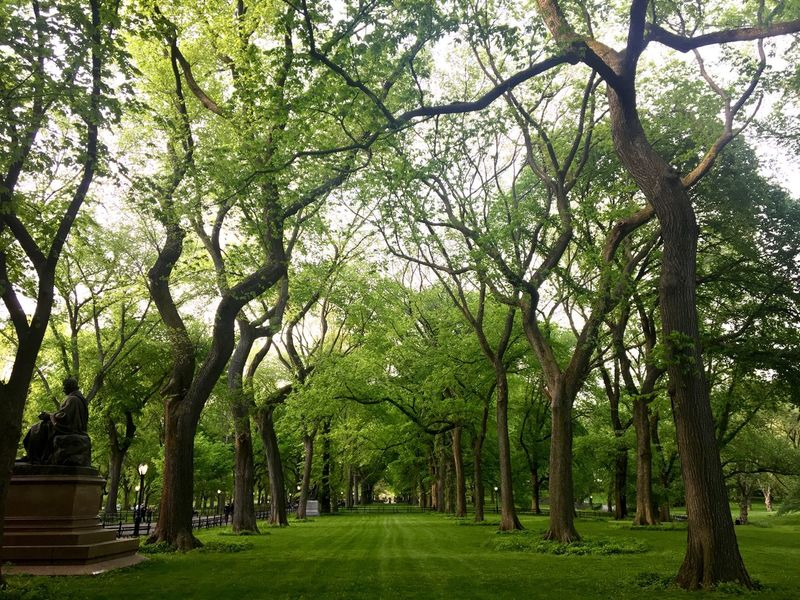 The Mall in Central Park. Tree Nature Green Color Growth Tranquility Beauty In Nature Park - Man Made Space Grass Tranquil Scene Landscape Outdoors Branch Tree Trunk Day No People Botanical Garden Sky Manhattan New York Live Oak